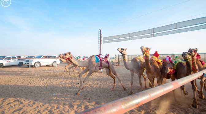 На верблюжьем ипподроме в Наджране проходит пятый тур бегов