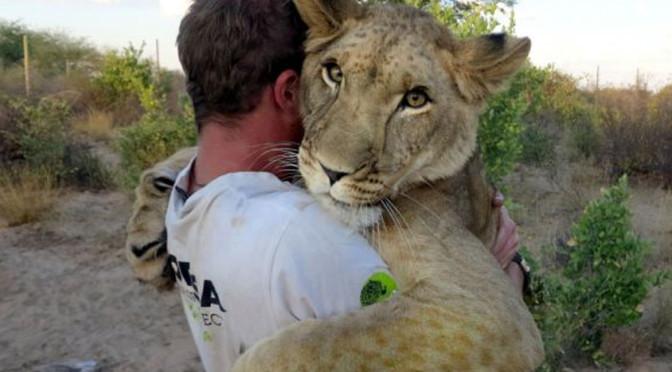 Новые подробности инцидента со львицей,  загрызшей кувейтца в Хафра Батин