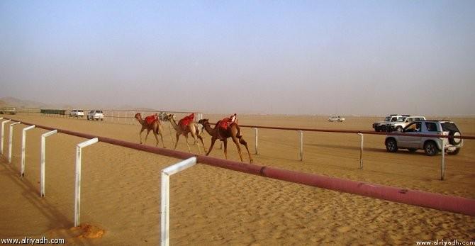 Начались летние верблюжьи бега в Таифе
