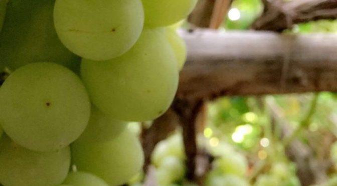В следующий вторник открывается первый фестиваль винограда в селении бани Саад округа Мисан