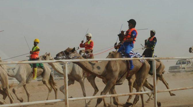 Летние верблюжьи бега начинаются в Таифе