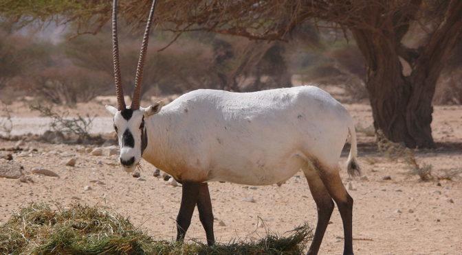 Саудийский комитет по дикой природе позволяет посетителям фестиваля «рынок Указ» познакомится с аравийскими ориксами