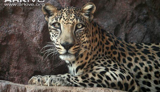 Южноаравийский леопард появился у селения бани Салим, зарезав 6 верблюдов на северо-востоке округа Камил