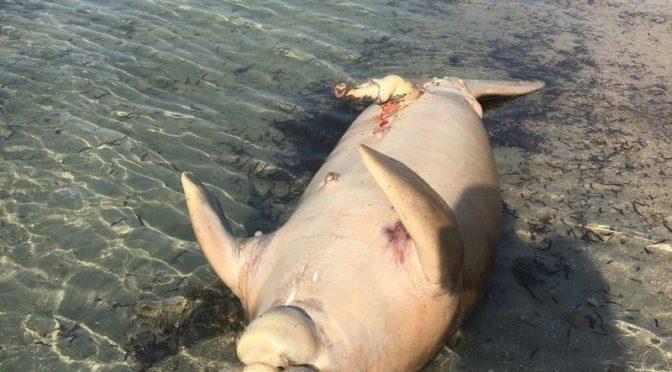 Странное пугающее морское животное выброшено на берег в южном Янбу