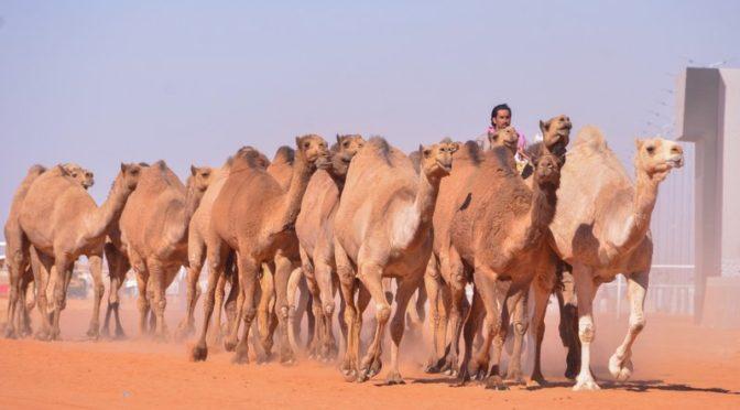 """Впервые: конкурс """"природных верблюдов"""" на фестивае им.Короля Абдулазиза"""