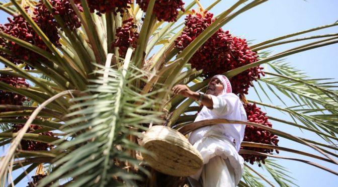 1.9 млн. финиковых пальм «летних» сортов украшают долины Биша, укрепляя экономический доход