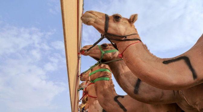 Современная технология позволила точно фиксировать результаты на шестой день вторго этапа забегов на фестивале верблюдов наследного принца