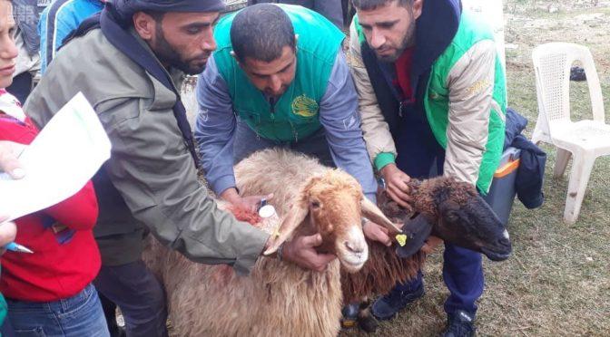 Центр гуманитарной помощи им.Короля Салмана подерживает программу  для сирийских семей в секторе животноводства