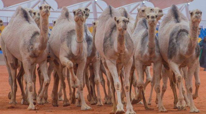Группы посетителей в саудийской «деревне верблюдов»