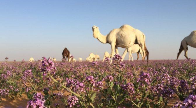 Весна в провинции аль-Джуф