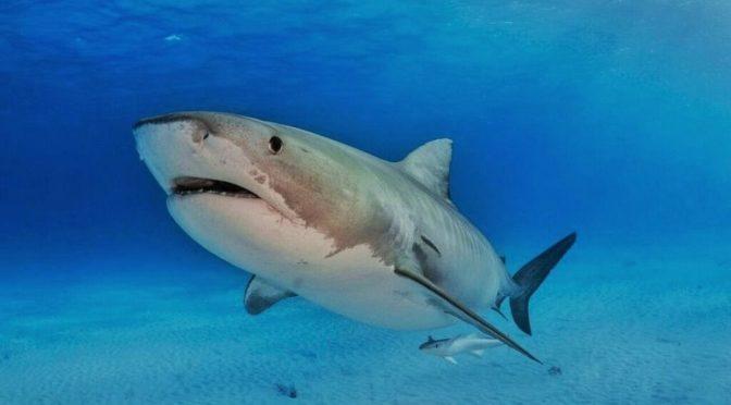 Научно-технический университет им.Короля Абдаллаха завершил изучение промышленного промысла акул