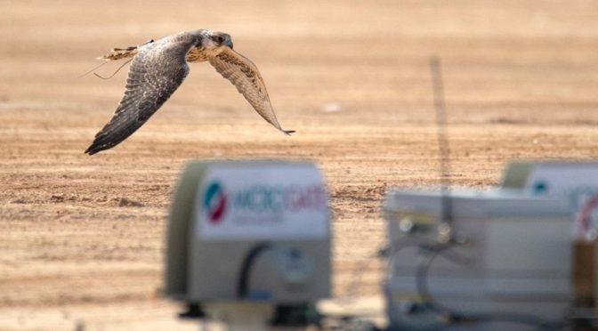 Клуб любителей соколиной охоты организует по новейшим технологиям соревнования «аль-Мулух» на фестивале соколов в Хафра Батин