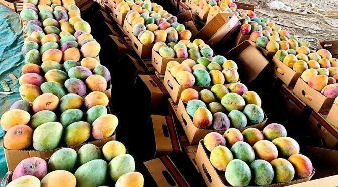 В округе Кунфуза выращивается в год более 40 тыс.тонн манго