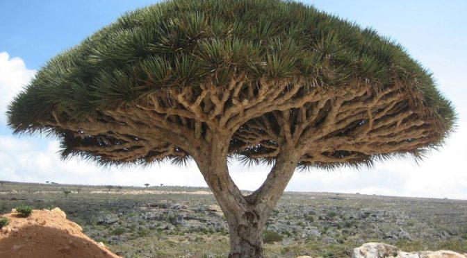 """Офис департамента окружающей среды, водных ресурсов и сельского хозяйства в Таифе идентифицировал редкий вид дерева – """"Драконово дерево"""""""