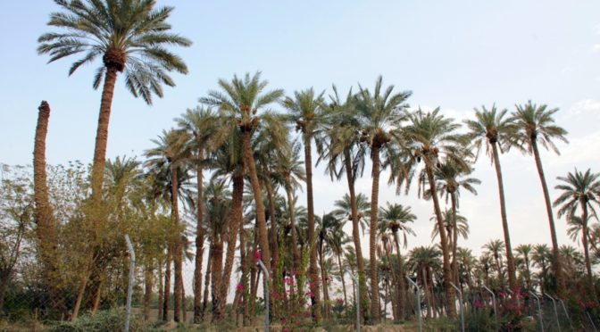 Пальмы и финики