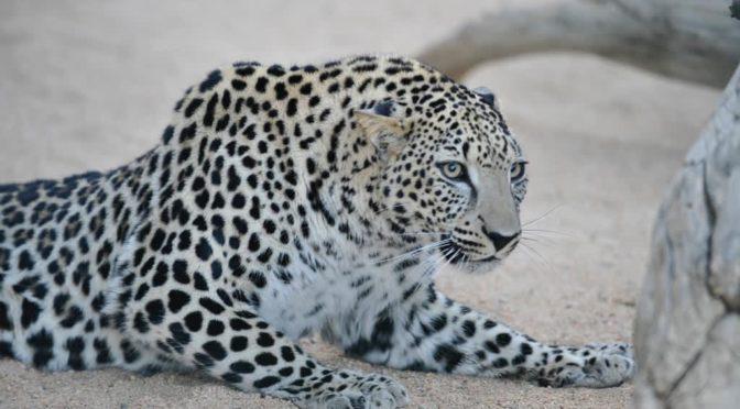 По указанию наследного принца: Основан Международный фонд по защите арабского леопарда в аль-Ула