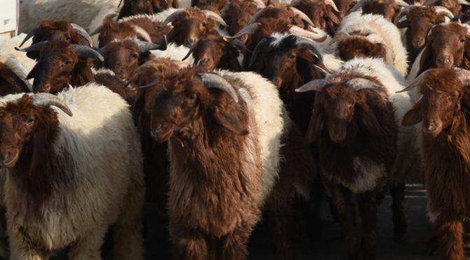 Жертвоприношение оживляет овечий рынок